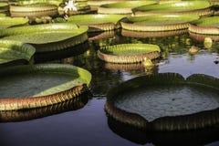 Lotus-stootkussen royalty-vrije stock afbeeldingen