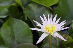 Lotus su acqua Fotografie Stock