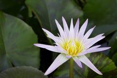Lotus su acqua Immagine Stock Libera da Diritti