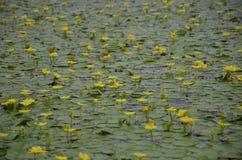 Lotus sul Ka del  di JegriÄ del fiume Immagine Stock Libera da Diritti
