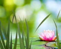 Lotus sull'acqua fotografia stock libera da diritti
