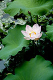 The lotus in the summer Royalty Free Stock Photo