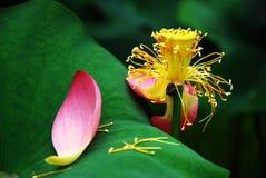 Lotus in summer Stock Image
