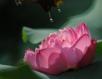 Lotus. With sun light in summer in China Royalty Free Stock Photos