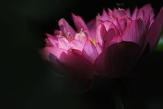 Lotus. With sun light in summer in China Stock Photography