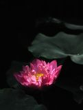 Lotus. With sun light in summer in China Stock Photos