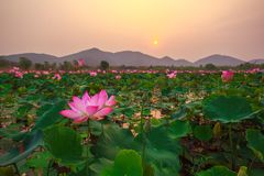 Lotus in sunshine day Royalty Free Stock Images