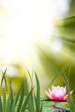 Lotus sur l'eau images libres de droits