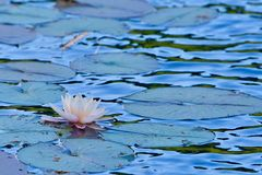 Lotus sur l'eau photos stock