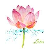 Lotus sur le blanc Images stock