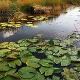 Lotus sur le courant Photos libres de droits