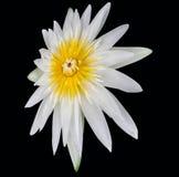 Lotus sur le fond noir Photographie stock