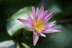 Lotus sur le vert Photos libres de droits