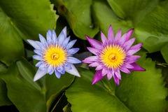 Lotus in swamp Royalty Free Stock Images