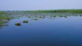 Lotus swamp Stock Image