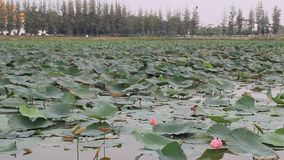 Lotus swamp in the university stock footage