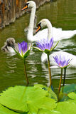 Lotus and swans Royalty Free Stock Image