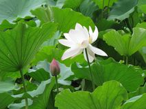 The lotus sways in the breeze. stock photography