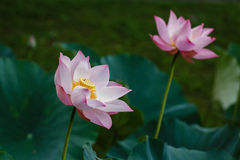 Lotus - Symbol of The Sun Royalty Free Stock Photography