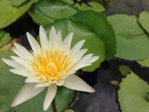 Lotus in Tailandia Immagine Stock