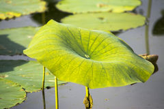 Lotus takeover. A large amount of lilly flowers and pads take over a lake in Ohio Stock Images