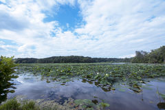 Lotus takeover. A large amount of lilly flowers and pads take over a lake in Ohio Royalty Free Stock Images