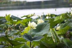 Lotus takeover Stock Image