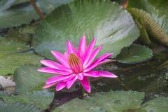 Lotus in Teich 1 Stockbilder
