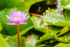 Lotus-Teiche Lizenzfreie Stockbilder