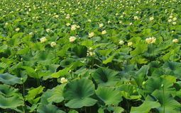 Lotus-Teichhintergrund Stockbilder