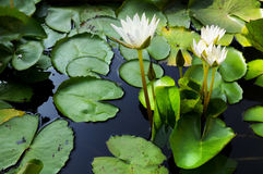 Lotus Thai.Beautiful fresh water for the garden. Royalty Free Stock Image