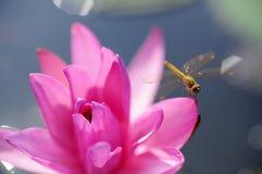 Lotus Thailand Image libre de droits