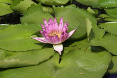 Lotus in Thailand Stock Afbeeldingen