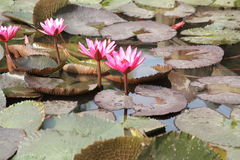 Lotus in Thailand Stock Foto's