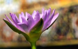 Lotus in Thailand Royalty-vrije Stock Fotografie