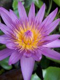 Lotus in Thailand Stockfotografie