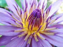 Lotus in Thailand Stockbilder