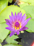 Lotus in Thailand Lizenzfreies Stockbild