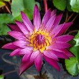 Lotus in thailand Stock Photos