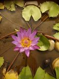 "Lotus. To the Indian psyche, the lotus is more than a flowe. The Bhagavad Gita says, ""One who performs his duty without attachment, surrendering the results Stock Images"