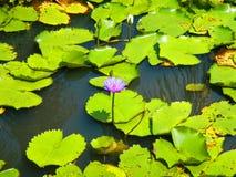 Lotus träsk Fotografering för Bildbyråer