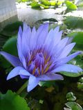 Lotus, Tropfen Lizenzfreies Stockbild