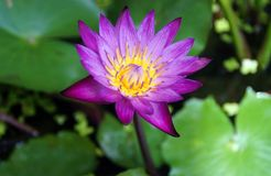 Lotus in tuin Royalty-vrije Stock Fotografie
