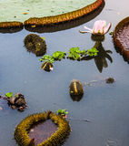Lotus, tum e fioritura. Fotografia Stock