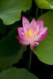 Lotus. Twain pink water lily flower (lotus Royalty Free Stock Photos