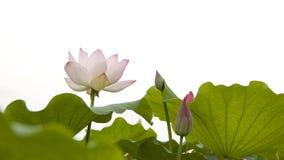Lotus. Twain pink water lily flower (lotus Stock Photography