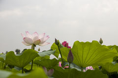 Lotus. Twain pink water lily flower (lotus Stock Images