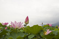 Lotus. Twain pink water lily flower (lotus Royalty Free Stock Photography