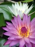 Lotus twee bloemen Stock Afbeelding