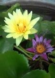 Lotus. Tween lotus in Thailand Royalty Free Stock Photo